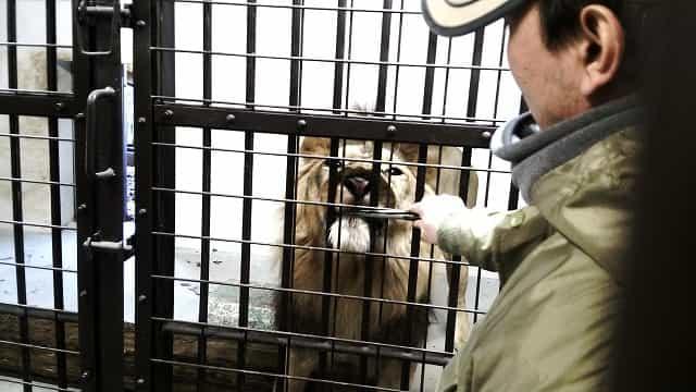 横浜市立野毛山公園 野毛山動物園 ライオンの餌付け