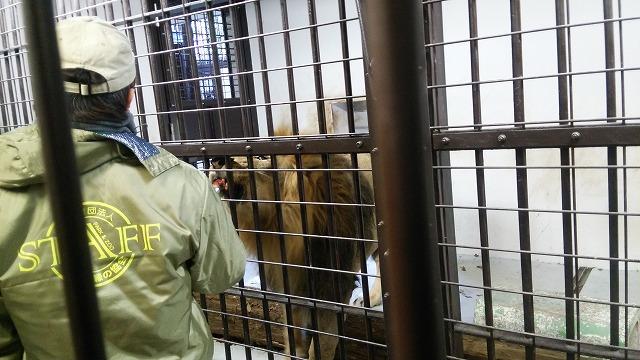 野毛山動物園 ライオンの餌付け