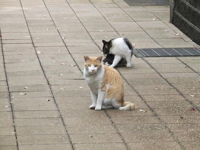 菅刈公園 猫