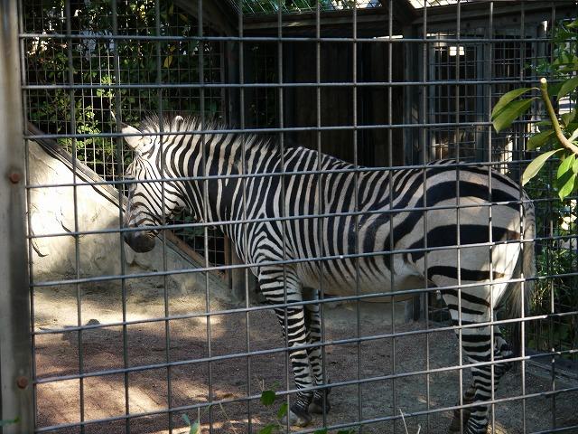 上野動物園 シマウマ