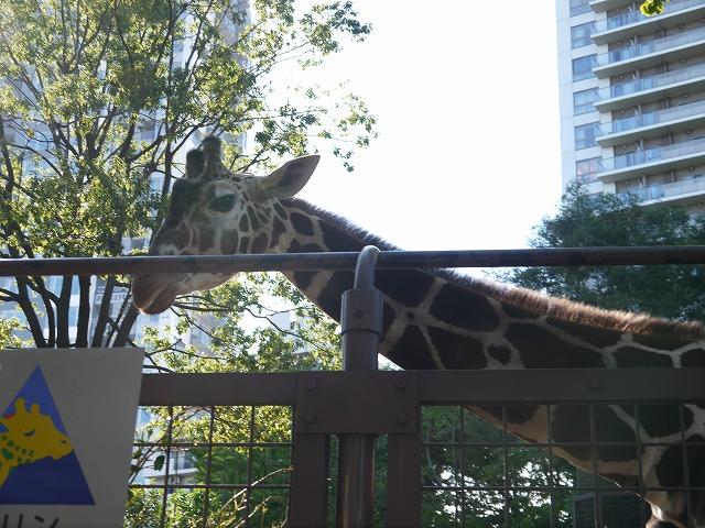 上野動物園 キリン