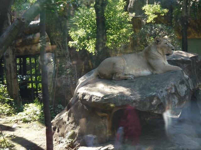 上野動物園 ライオン