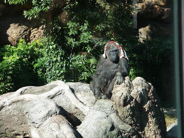 上野動物園 タオルを頭にかけているゴリラ