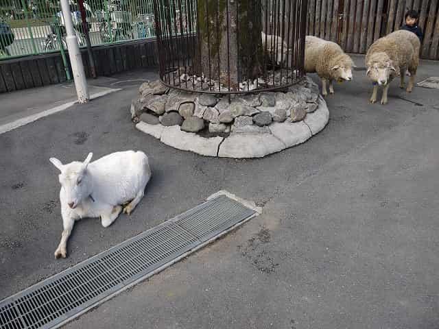 東板橋公園・こども動物園 はなしがい広場 3匹の羊
