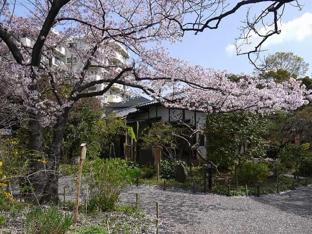向島百花園 桜