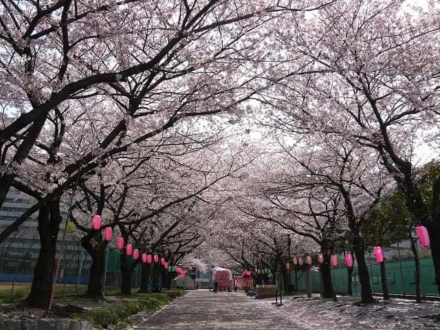 東白鬚公園 桜