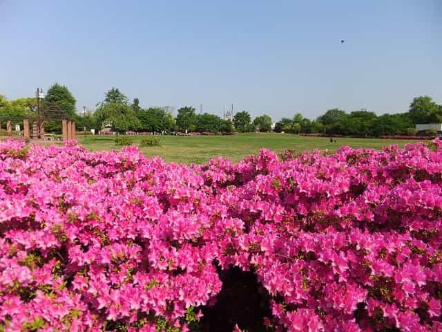 平和の森公園 桜・つつじ