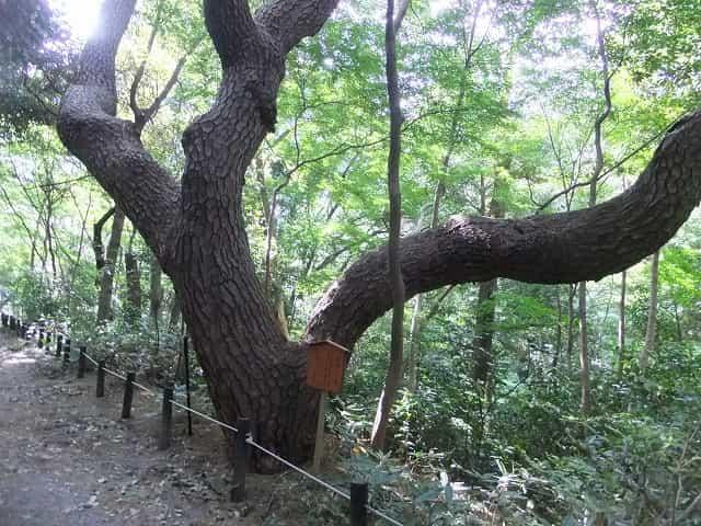 附属自然教育園 物語の松