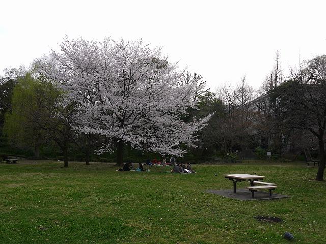 清澄庭園 桜