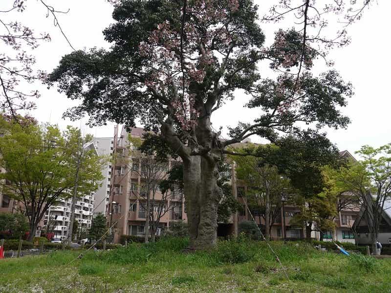 大島小松川公園 季節の広場(北) クロガネモチ