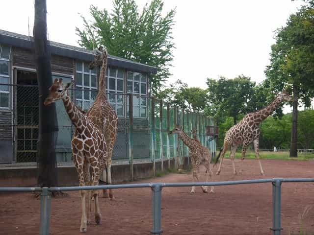 こども動物自然公園 キリン・シマウマ キリンの親子
