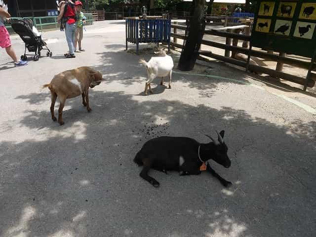 こども動物自然公園 なかよしコーナー ヤギ
