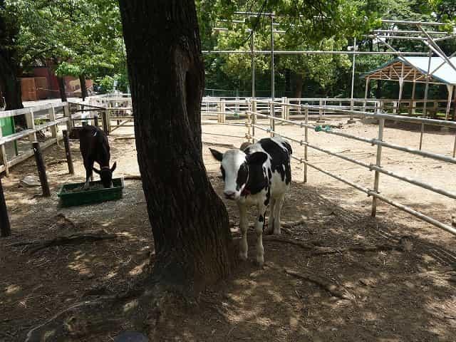 こども動物自然公園 乳牛コーナー