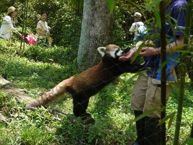 こども動物自然公園 レッサーパンダ・小動物コーナー レッサーパンダ