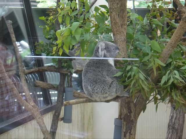 こども動物自然公園 コアラ舎 コアラ