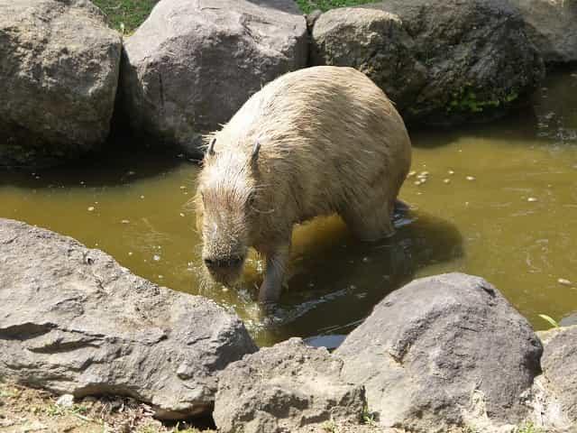 こども動物自然公園 カピパラ・ワラビー広場 カピパラ