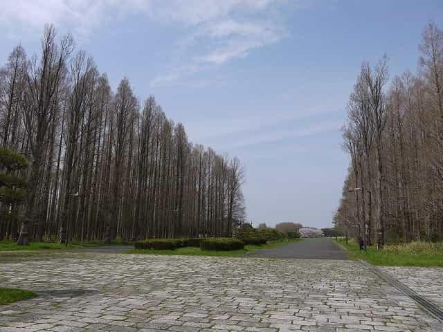 水元公園 ポプラ並木