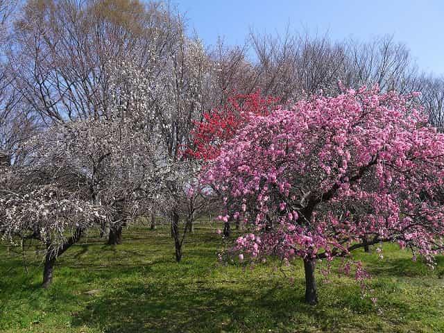 小金井公園 小金井公園で花見!