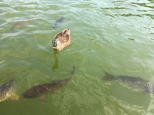 水鳥の池 水鳥と鯉