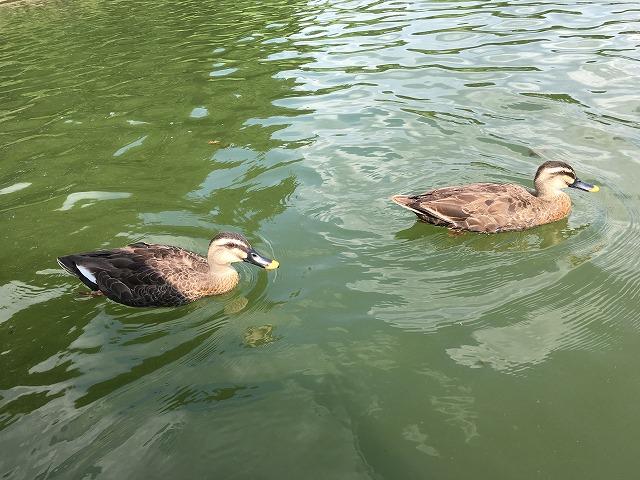 水鳥の池 2羽の水鳥