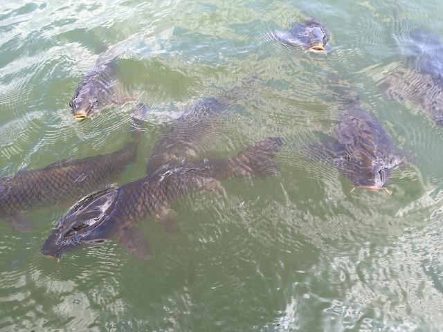 水鳥の池 鯉の大群