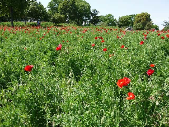 昭和記念公園 花の丘